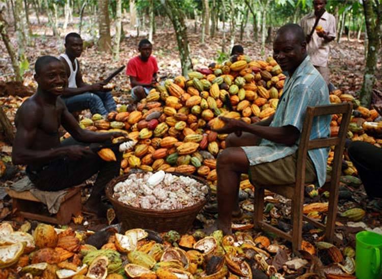 Характеристика кофе из Кот д'Ивуар