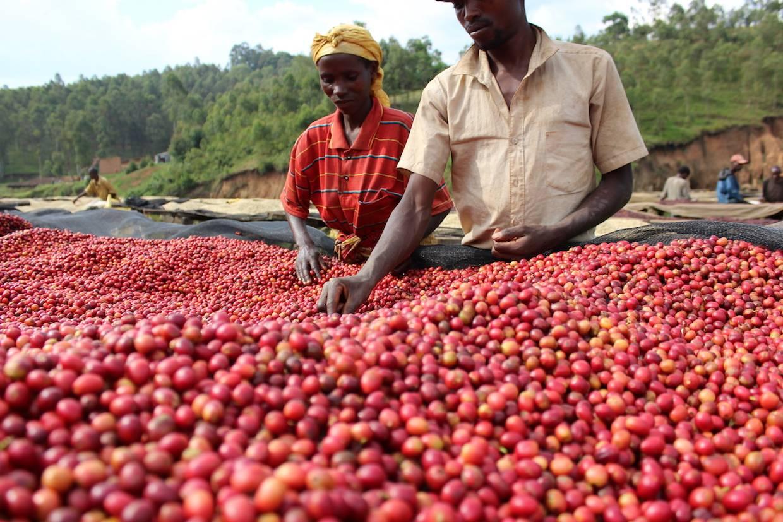 Кофе бурбон - что это такое, история, особенности, вкус, сорта, отзывы