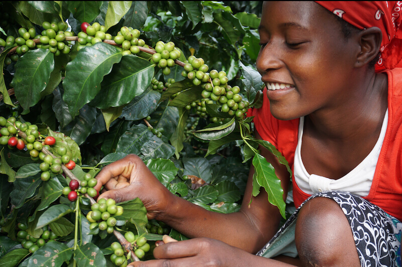 Характеристика кофе из Зимбабве