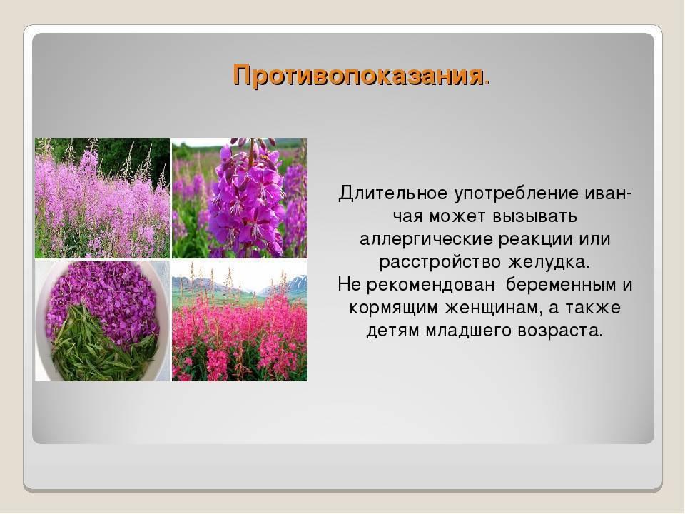 Иван-чай - лечебные и полезные свойства, показания к применению при заболеваниях у женщин и мужчин