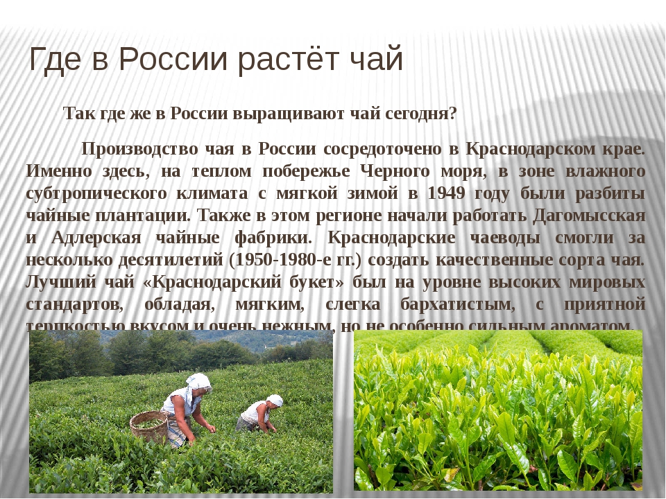 5 мест, где выращивают краснодарский чай