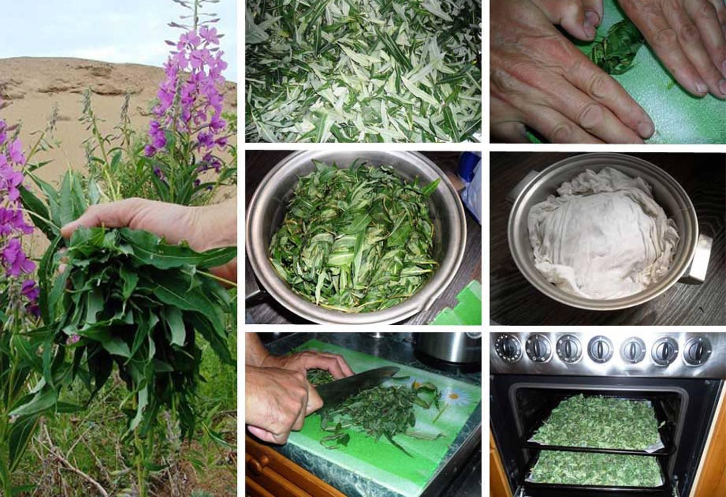 Как правильно собирать и сушить иван-чай для большего целебного эффекта