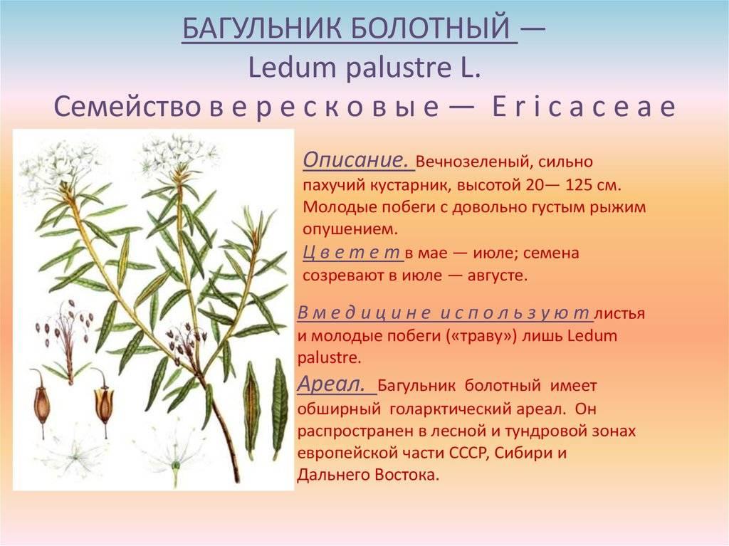 Лечебные свойства и противопоказания багульника болотного