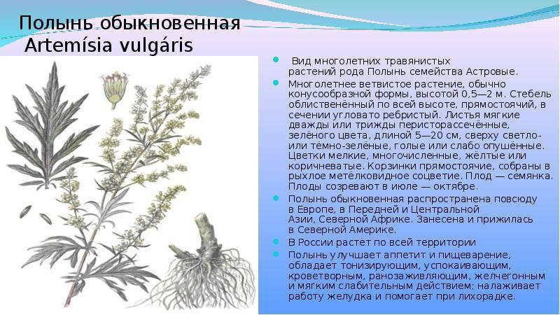 Лечебные свойства горькой полыни: применение, рецепты и противопоказания