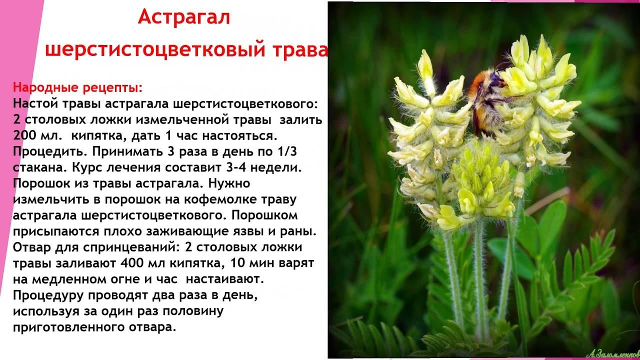 Астрагал шерстистоцветковый: 12 лечебных свойств травы