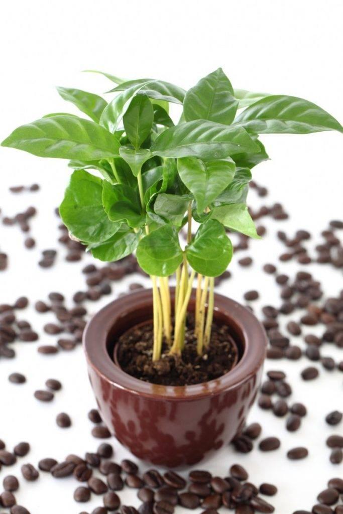 Кофейное дерево: описание и выращивание дома