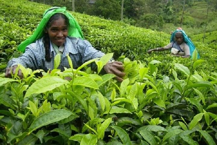 Цейлонский чай: обзор, сорта и виды (среднелистовой, крупнолистовой),