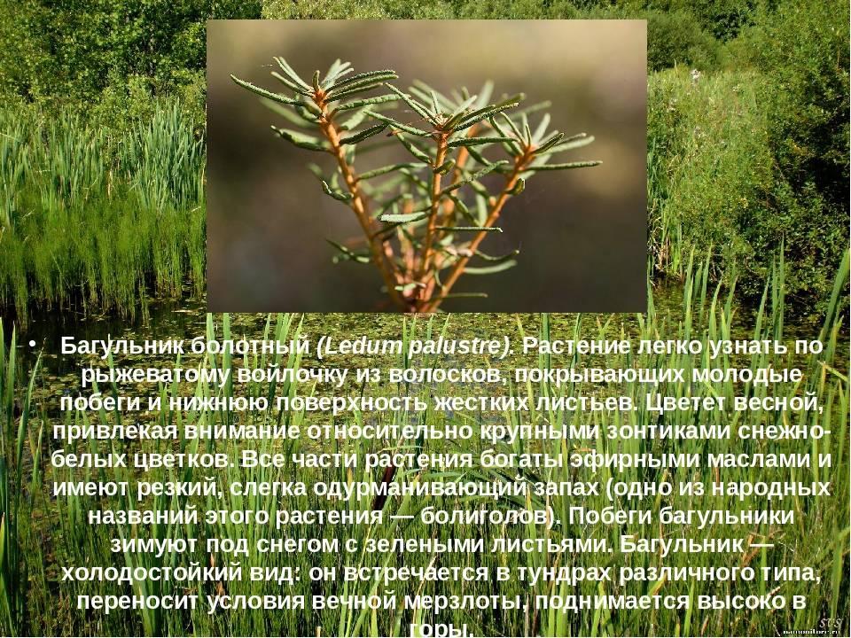 Багульник болотный: лечебные свойства и применение