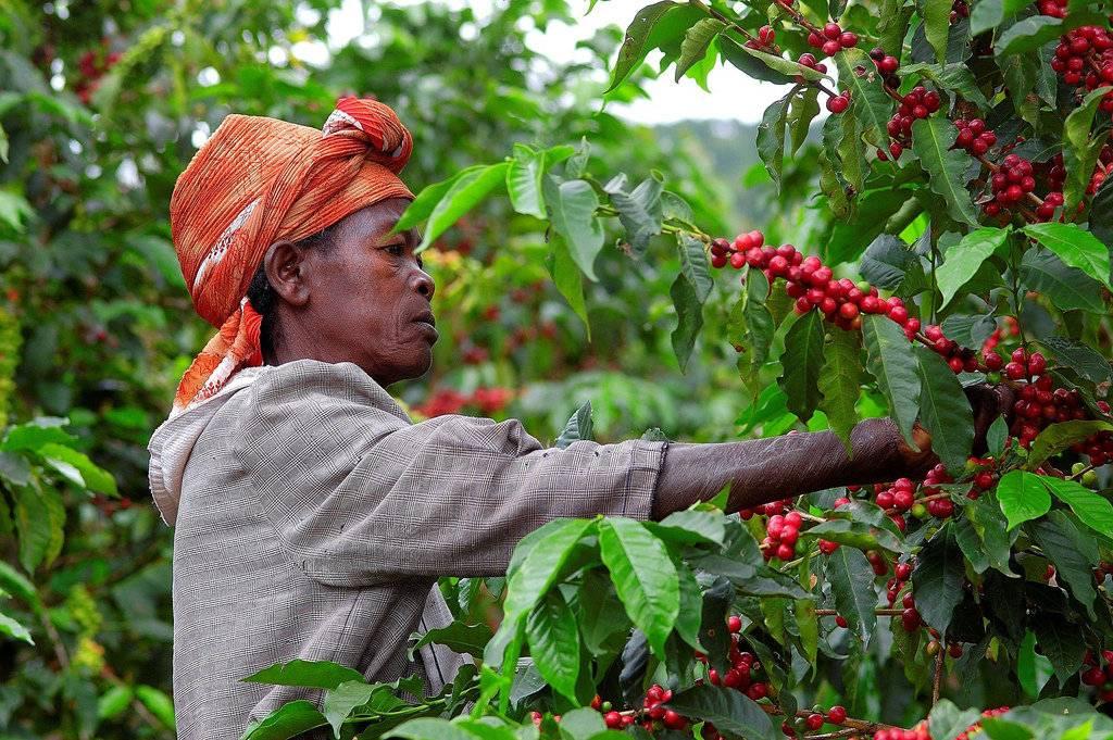 Родина кофе: страны, производящие зерна на экспорт. история открытия кофейных зерен. распространение в европе