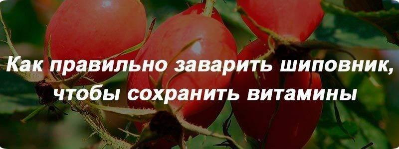 Как заварить шиповник правильно: в термосе, цельные сушеные плоды, сколько по времени, как пить, чтобы полезные свойства сохранились, рецепты, пропорции