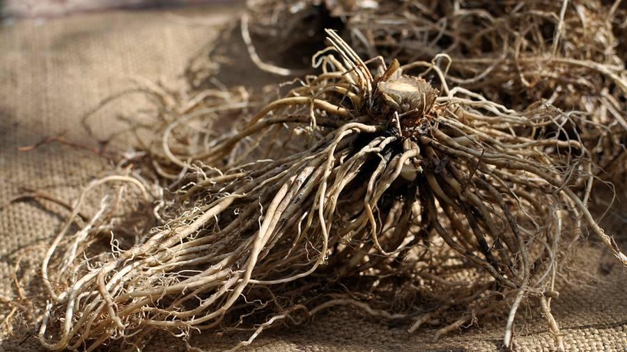 Валериана: полезные свойства и противопоказания, как собирать, сушить, фото