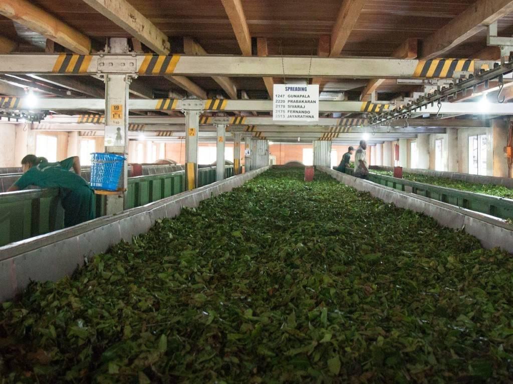 Где выращивают чай в россии
