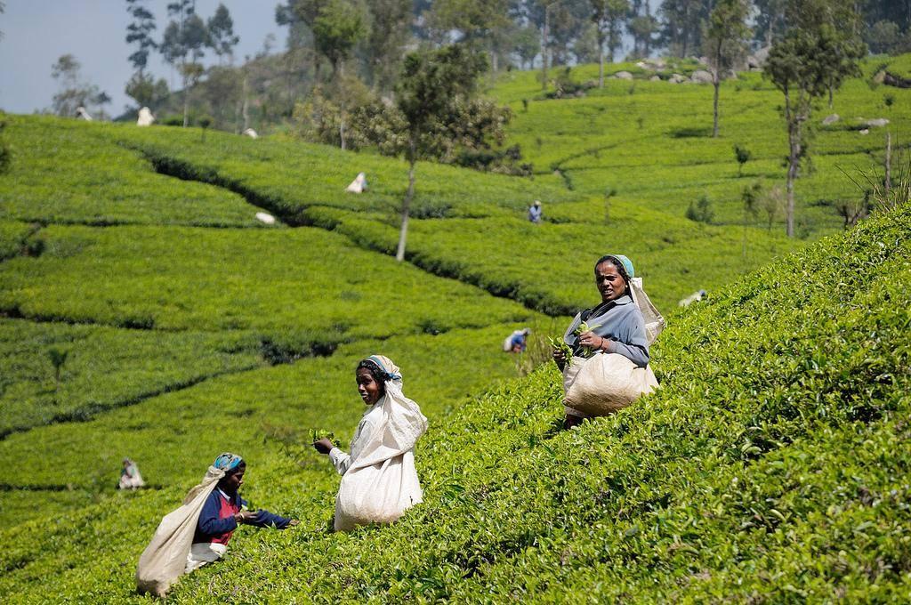 Динамика площадей чайных плантаций и производство чая в мире - teaterra   teaterra
