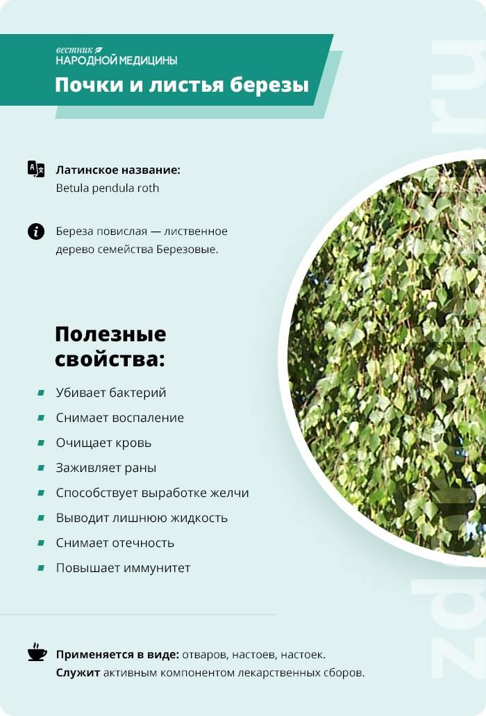 Листья березы лечебные свойства и противопоказания - здоровье и долголетие
