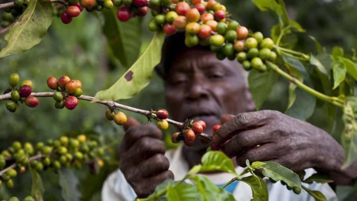 Родина кофе: какая страна стала первой производить зерна