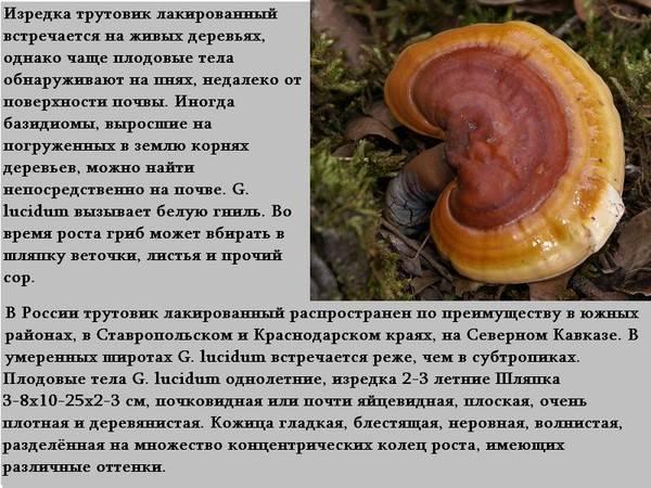Чай с грибом рейши: чем полезен, как готовить и пить, кому не стоит употреблять и почему