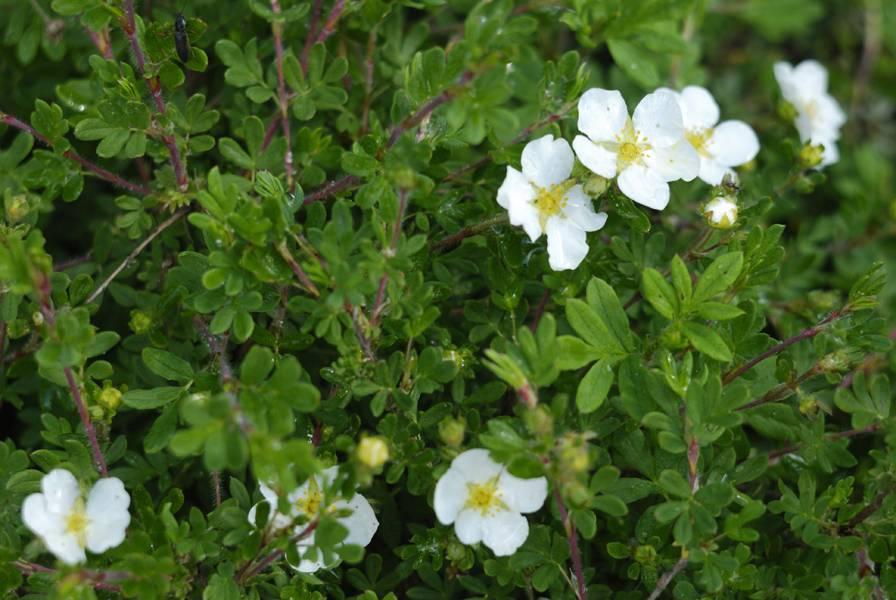 Курильский чай кустарниковый — полезные свойства, описание