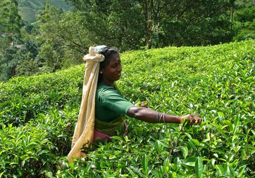 Натуральный чай из шри-ланки: лучший напиток из горных районов
