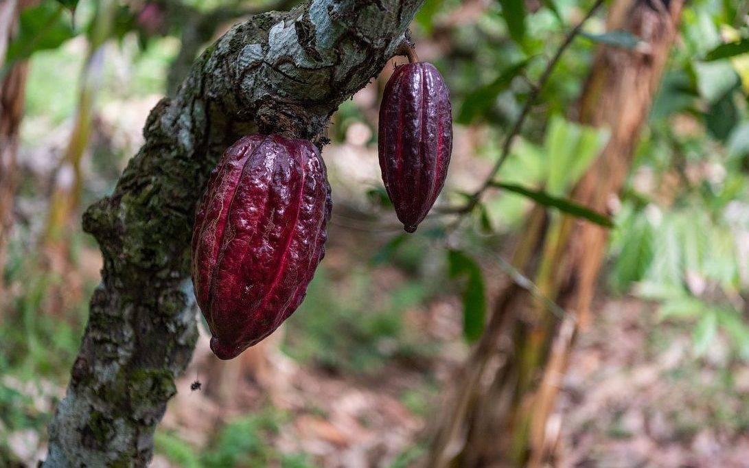 Шоколадное дерево или дерево какао » народные средства и народные рецепты