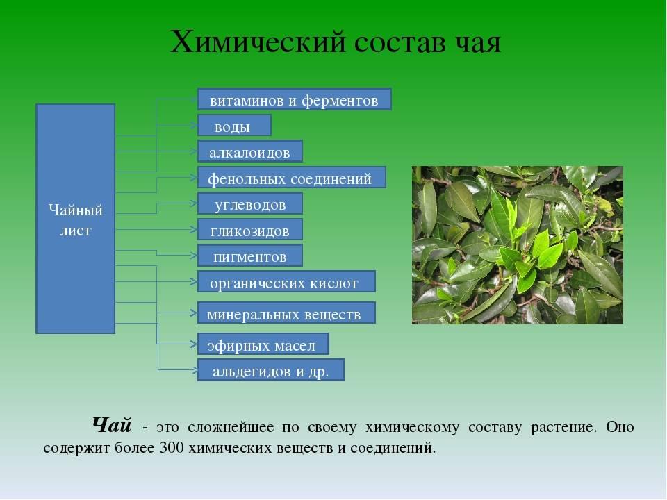 Черный чай: польза и вред напитка для организма человека