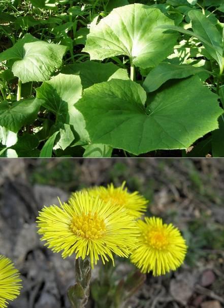 Мать-и-мачеха - лечебные свойства и противопоказания: инструкция по применению полезных цветов и листьев растения