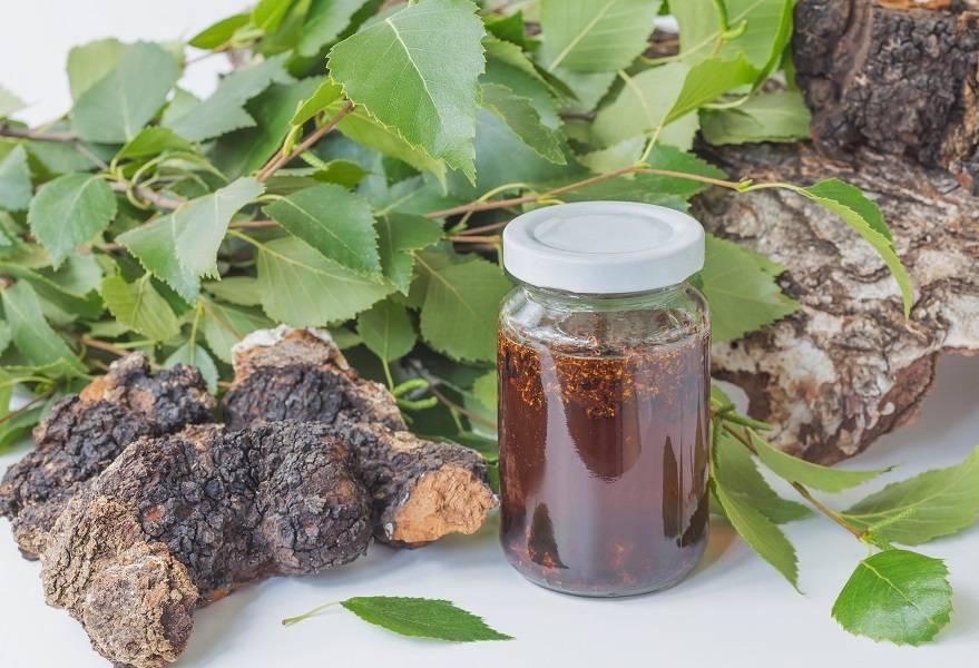 Чаговый чай: польза и вред творения природы