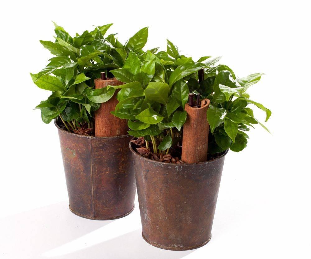 Выращивание кофе арабика в комнатных условиях: подготовка дерева к посадке, уход за растением