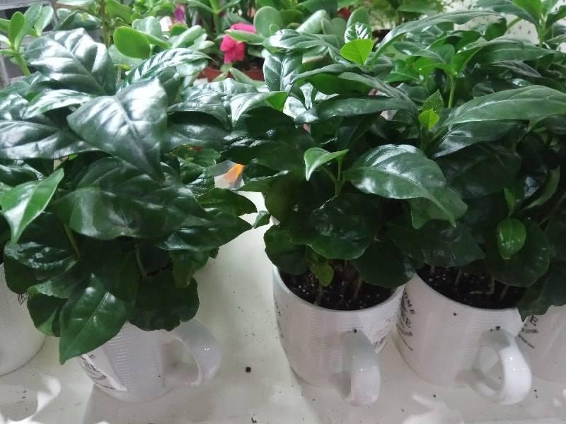Кофейное дерево: уход в домашних условиях, выбор грунта и правила выращивания