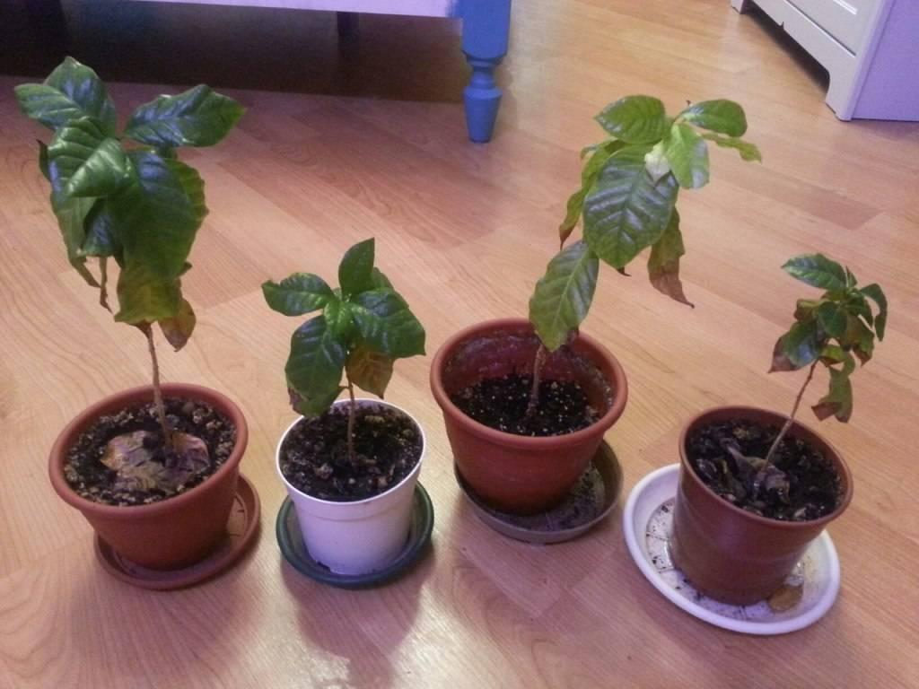 Кофе арабика: уход за комнатным растением в домашних условиях