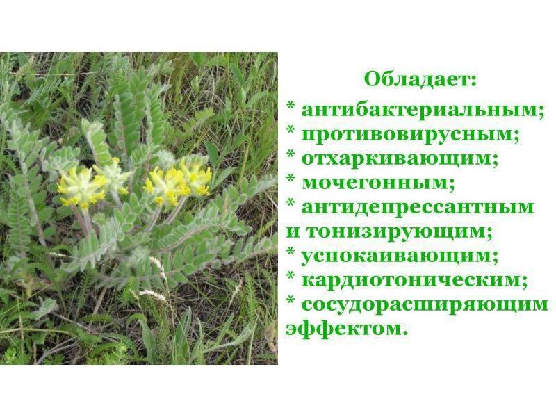 Астрагал шерстистоцветковый - полезные свойства, состав и противопоказания (+ фото)