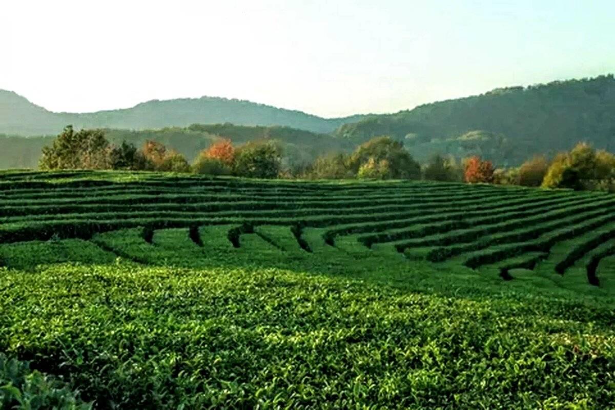 Краснодарский чай: состав, свойства и советы по приготовлению