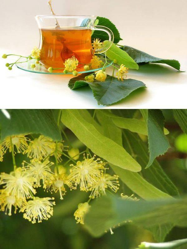 Описание растения омела белая с фото - применение в рецептах народной медицины