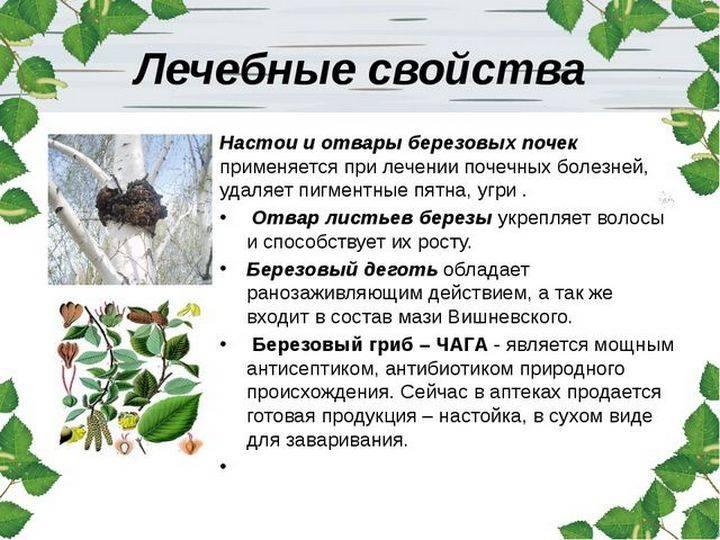 Чай из березовых листьев: польза и вред