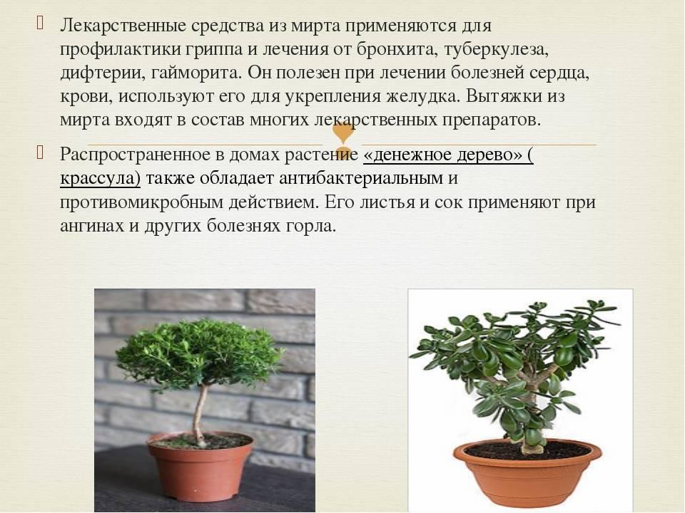 Растение мирт — полезные свойства, применение, состав, вред | здоровье и красота