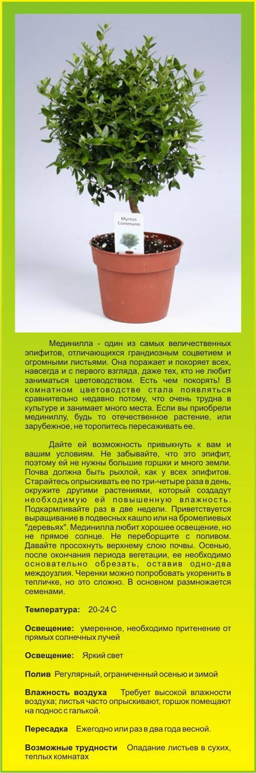 Мирт обыкновенный цветок польза и вред - неталкоголю