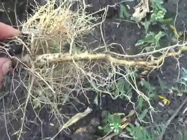 Отвар корня подсолнечника отзывы. корень подсолнуха полезные свойства и противопоказания