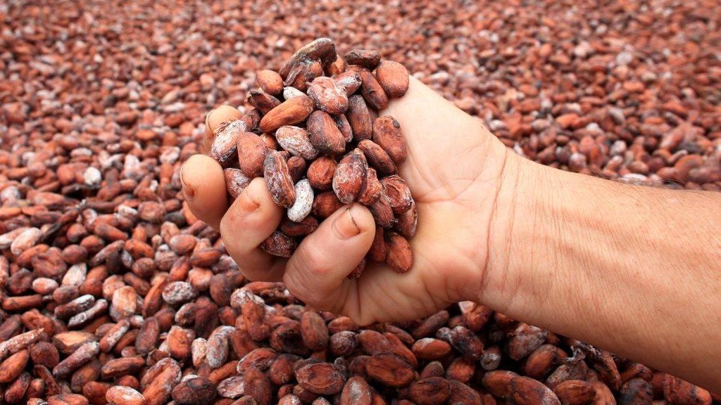 Какао – пища богов польза и вред для здоровья
