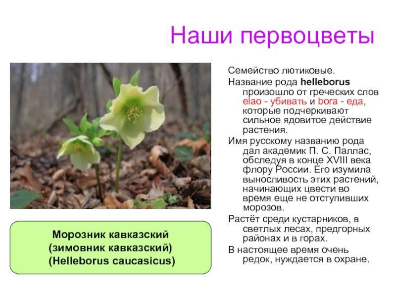 ᐉ морозник кавказский - полезные свойства, описание - roza-zanoza.ru