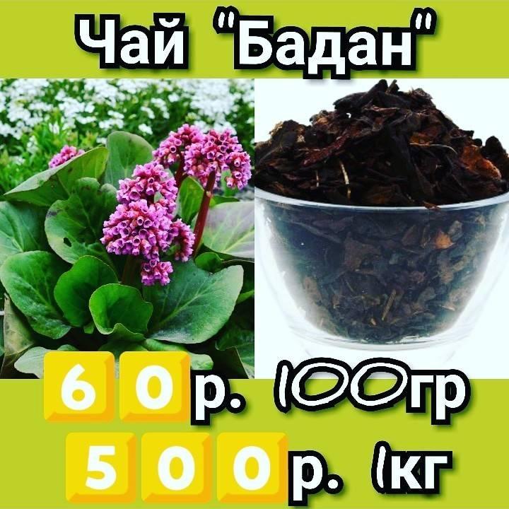 Полезные свойства чая из бадана