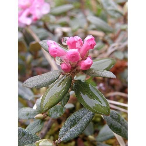 Чай саган-дайля: полезные свойства бурятских и алтайских растений, вкус и противопоказания к применению, отзывы врачей о саган-дали