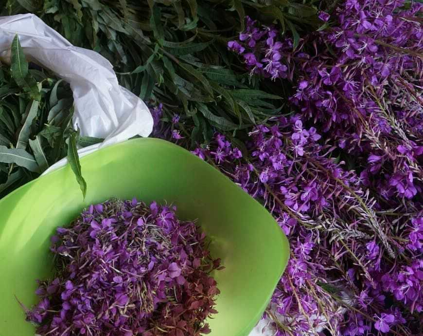 Иван-чай: лечебные свойства и противопоказания для женщин и мужчин