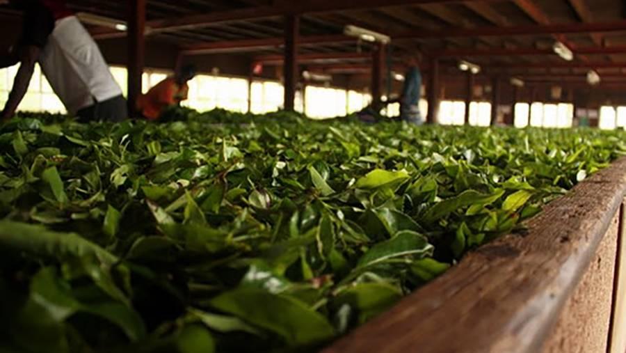Производство черного чая