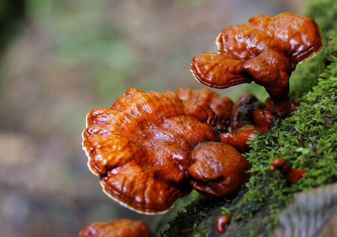 Чай с грибом рейши: польза, противопоказания, рецепты приготовления
