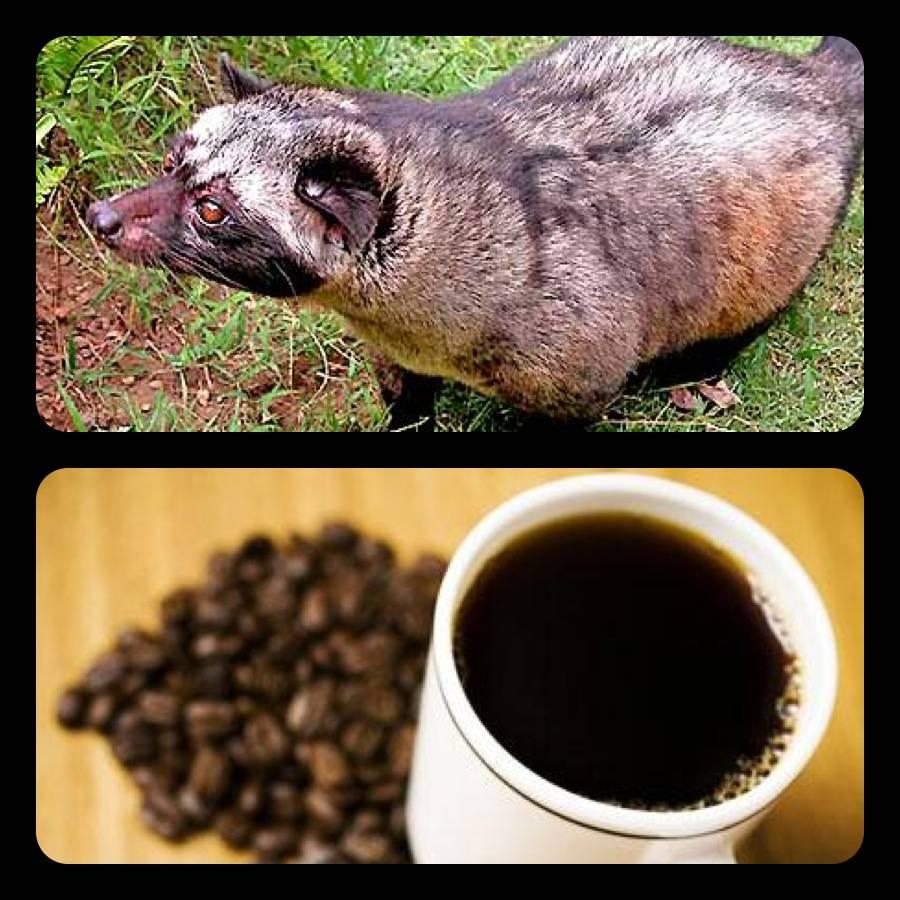 Самый дорогой кофе в мире из кала животных. необычные виды — копи лювак и черный бивень