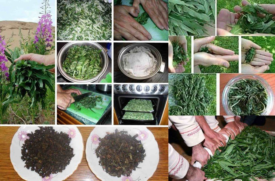Как собирать и сушить иван-чай: полезные свойства и противопоказания