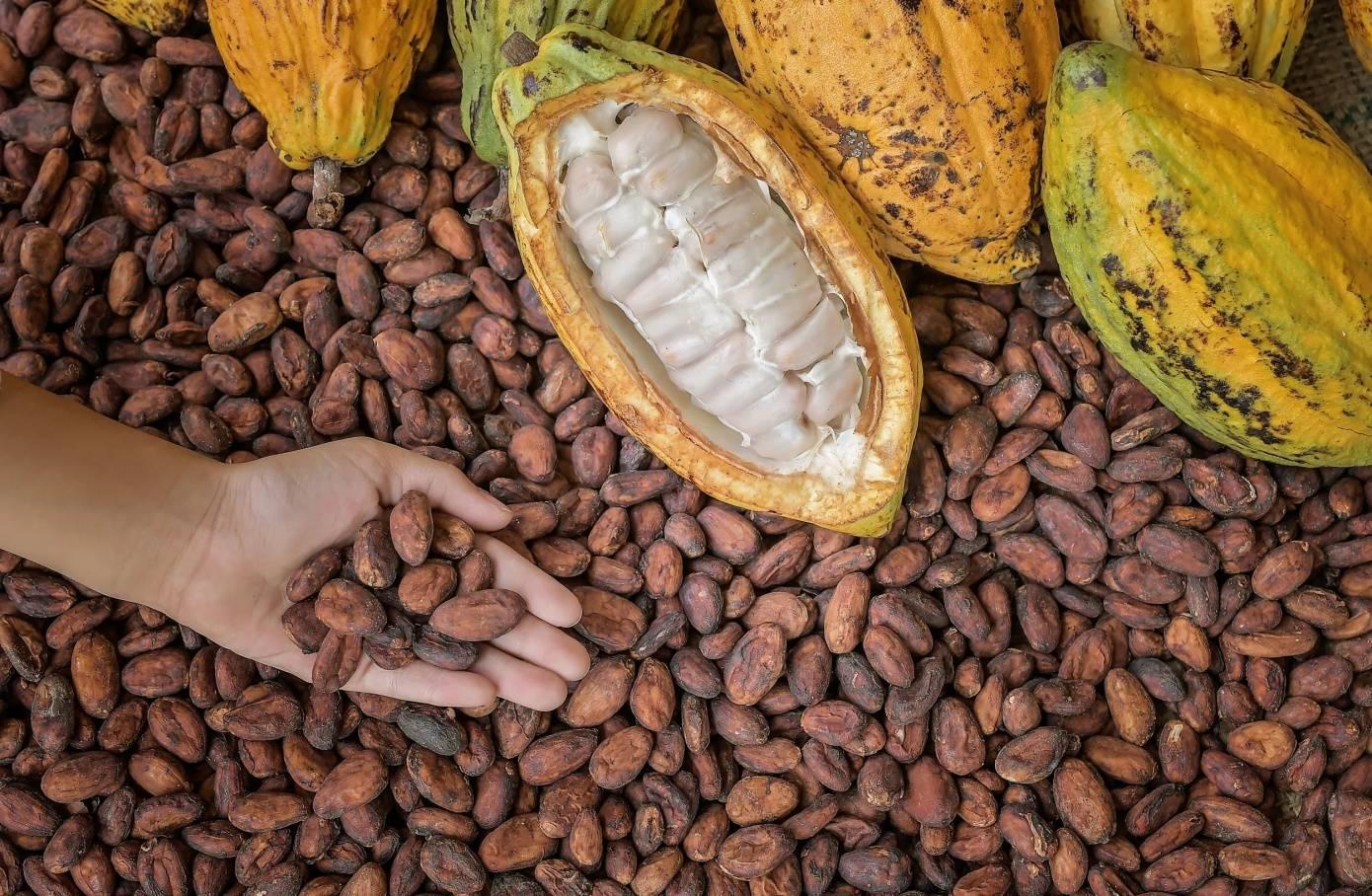 Шоколадное дерево какао: фото и описание растения, условия выращивания какао-плодов в домашних условиях