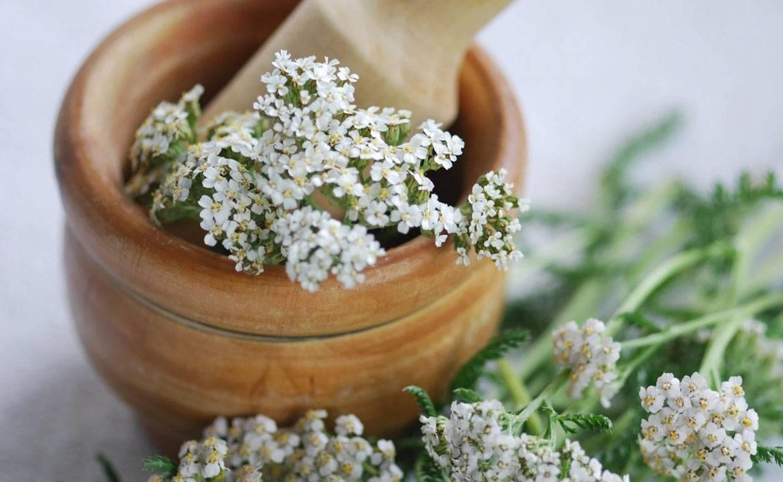 Тысячелистник - полезные свойства и противопоказания для женщин и мужчин, применение лечебного растения