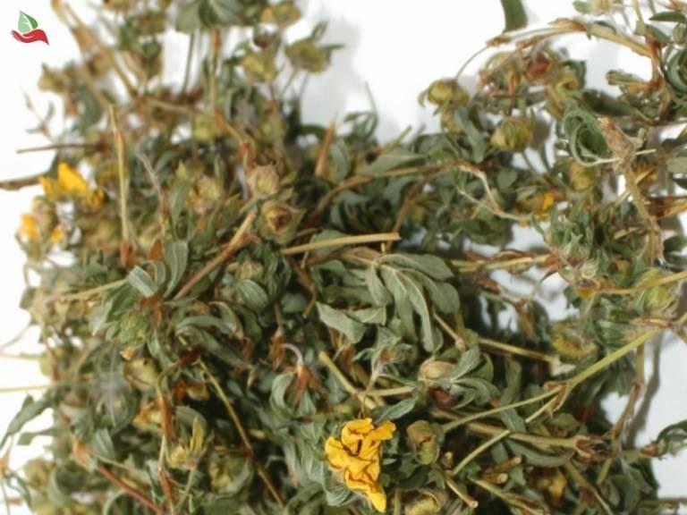 Курильский чай (лапчатка): полезные свойства и противопоказания, как заваривать