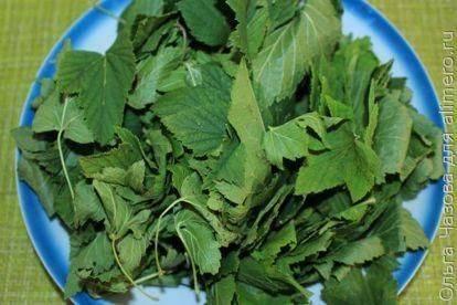 Ферментированный чай из листьев смородины польза и вред - польза или вред