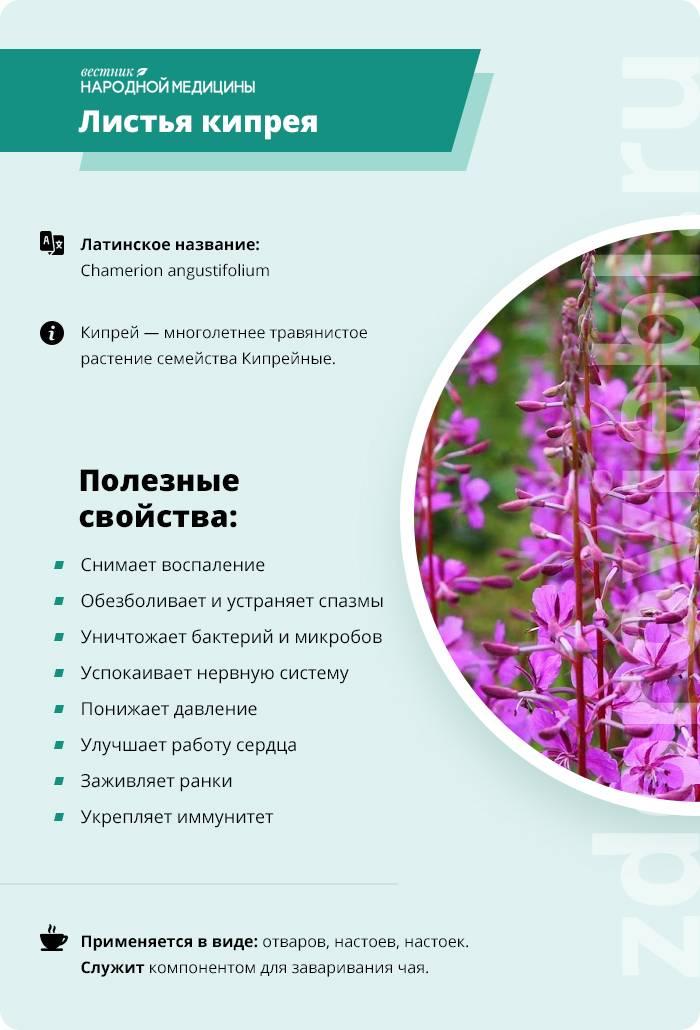 Иван-чай – лечебные свойства и противопоказания